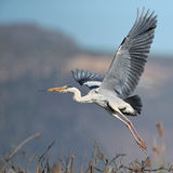 Grey Heron Taking Off Royalty Free Stock Image
