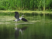 Grey Heron Taking Off Stock Images