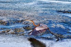 Grey Heron Taking Off Images stock