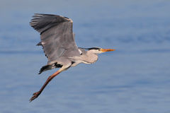 Grey Heron taking off over water Stock Photos