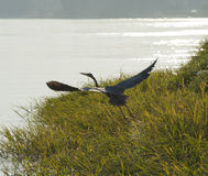 Grey heron taking off from a river bank Royalty Free Stock Photo