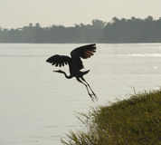 Grey heron taking off from a river bank Stock Image
