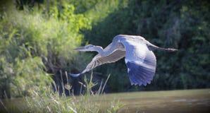 Grey Heron tijdens de vlucht Royalty-vrije Stock Afbeelding