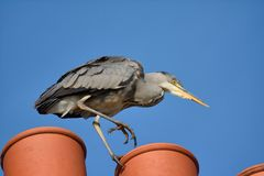 Free Grey Heron Tiptoeing Across The Chimney Tops. Royalty Free Stock Photography - 132674287