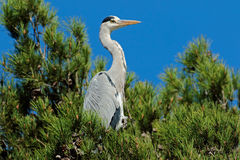 Grey heron in a tree Royalty Free Stock Photos