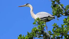 Grey Heron on Tree Branch stock video footage