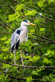 Grey heron on tree branch Stock Images