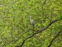 Grey heron in a tree Stock Image