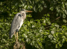 Grey Heron on a tree root at the lake edge. A Grey Heron sitting on a knarled tree root in the late afternoon sun at the lake edge, against a background of royalty free stock photos