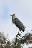 Grey heron in tree top, Camargue, France stock image
