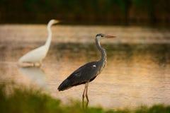 Grey Heron und großer weißer Reiher lizenzfreies stockfoto