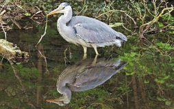 Grey Heron in urban pond with it's own reflection. Grey Heron in a pond with a full reflection of itself in the still water stock photos