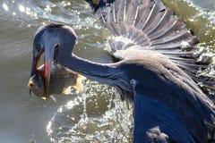 Grey Heron-vangst grote vissen Royalty-vrije Stock Afbeelding