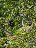 Grey Heron in vegetation. A Grey Heron - Ardea cinerea - emerges between a dense vegetation in southern Europe Stock Photo