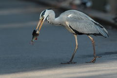 Grey heron. Royalty Free Stock Photos