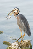 Grey Heron-visserij Stock Foto's