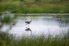 Grey Heron Wading fotografía de archivo libre de regalías