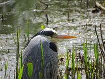 Grey Heron, Waiting for Lunch Royalty Free Stock Images