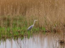 Grey Heron waiting in the marshes. Grey heron wading in the marshes at Surlingham RSPB Nature Reserve royalty free stock images