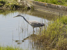 Grey heron waiting for prey Stock Image