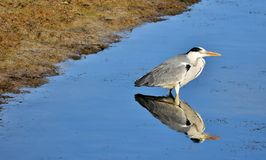 Grey Heron waiting for prey Stock Images
