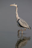 Grey Heron walking. In water Royalty Free Stock Images