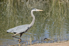 Grey Heron walking out of the water. Heron walking out of a pond Royalty Free Stock Photography