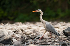 Grey Heron walking Stock Photography