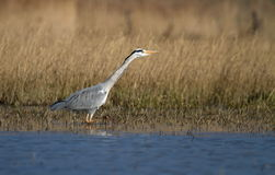 Grey heron walking in water. Grey heron (ardea cinerea) walking in a pond water next to winter yellow grass Royalty Free Stock Images