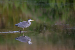 Grey Heron walking in water with reflection. A young Grey Heron (Ardea cinerea) walking in water with a blurred green natural background and refllection, UK Royalty Free Stock Photo