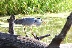 Grey Heron. The Grey Heron was at a lookout point near Skukuza in the Kruger Park Royalty Free Stock Images