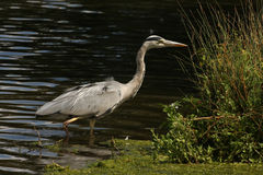 A grey heron in water. A Grey Heron head stalking fish in a lake Stock Image