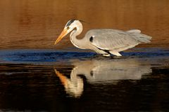 Grey heron in water Stock Images