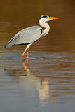 Grey heron in water Stock Photo