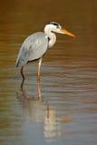 Grey heron in water Royalty Free Stock Photos