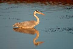Grey heron in water Stock Image