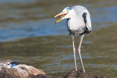 Grey heron with water in background Stock Image