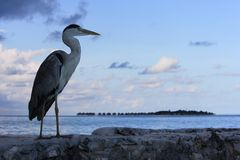 Grey heron and water villas Royalty Free Stock Photography