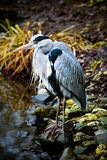 Grey heron at the waterside Royalty Free Stock Image