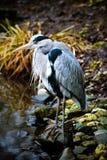 Grey heron at the waterside Royalty Free Stock Image
