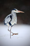 Grey Heron in white snow wind during cold winter, wild bird in the nature habitat, Germany Stock Photos