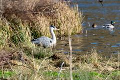 Grey heron wild bird standing at the edge of a lake in winter sunlight royalty free stock photo