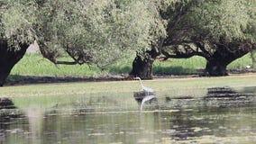 Grey heron wildlife stock video