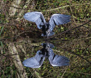 Grey Heron Wings Open Reflection Foto de archivo
