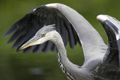 Grey Heron wingstrech Stock Photography