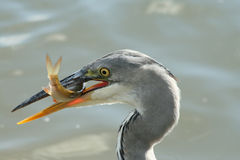 Free Grey Heron With A Fish Royalty Free Stock Photo - 13483365