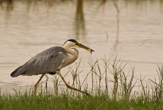 Grey Heron With Caught Fish Stock Photography