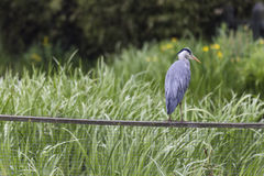 A grey heron Royalty Free Stock Images