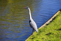 Grey Heron & x28; Ardeacinerea& x29; Royaltyfria Bilder