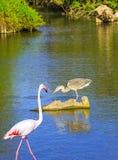 Grey Heron y flamenco rosado en el delta del Rhone Fotografía de archivo